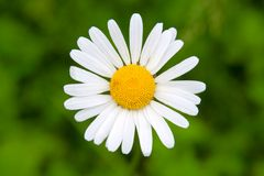 Close up of chamomile flower Royalty Free Stock Photography