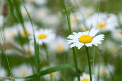 Close up of chamomile flower Royalty Free Stock Photo