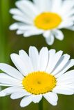 Close up of chamomile flower Stock Images