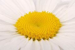 Close-up with chamomile flower stock photography