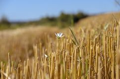 Lone blooming daisy flower in the field stubble royalty free stock image