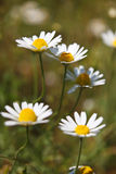Close-up of Chamomile flower Royalty Free Stock Images