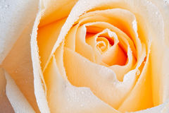 Close-up champagne rose Royalty Free Stock Image