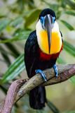 Channel billed toucan. Close up of a Channel Billed Toucan on a branch Royalty Free Stock Images
