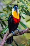 Channel billed toucan. Close up of a Channel Billed Toucan on a branch royalty free stock image