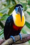 Channel billed toucan. Close up of a Channel Billed Toucan on a branch Stock Images