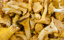 Close-up of chanterelle mushrooms Stock Images