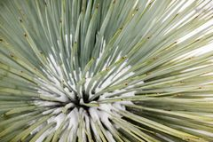 Close up of Chaparral Yucca (Hesperoyucca whipplei) growing on the slopes of Mt San Antonio, snow at its base; Los Angeles county stock images