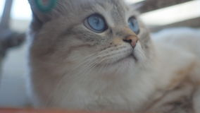 Close-up of a charming gray cat with blue eyes in slow motion stock footage