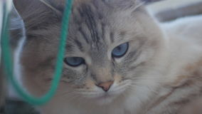 Close-up of a charming gray cat with blue eyes in slow motion stock video footage