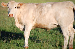 Close up of a Charolais Cow. A close up image of a Charolais cow standing in a pasture stock photo