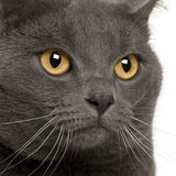 Close up of a Chartreux (3 years old) Royalty Free Stock Photos
