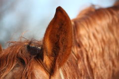 Close up of chectnut horse ear Stock Photography