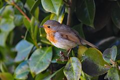 Close up of a cheeky robin perched in a laurel bush stock photo
