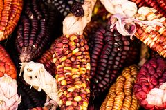 A Close up or Cheerful and Colorful dried Indian Corn Royalty Free Stock Photos