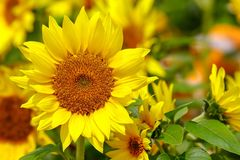Close up of a cheerful tropical flowering sunflower in garden royalty free stock images