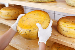 Close-up of a cheesemaker selecting mature cheeses Royalty Free Stock Image