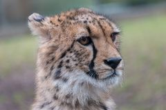 Close-up cheetah portrait with blurred green background royalty free stock image