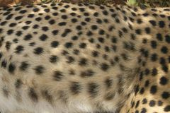 Close-up of Cheetah in animal facility of Nairobi, Kenya, Africa at the KWS Kenya Wildlife Service Stock Photography