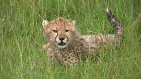 A close up of a cheetah cub