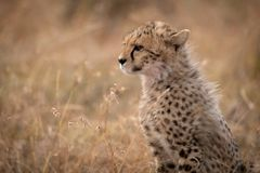 Close-up of cheetah cub sitting in grass royalty free stock image