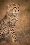 Close-up of cheetah cub sitting on grass royalty free stock photo