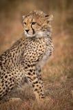 Close-up of cheetah cub sitting in grassland stock photos