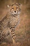 Close-up of cheetah cub sitting on savannah royalty free stock images