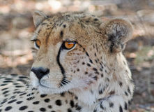 Close up of a cheetah head in Hwange stock photos