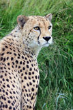 Close up of a cheetah Stock Photography