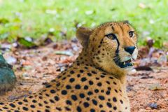Cheetah. Close up of a Cheetah lying down in the shade Stock Photography