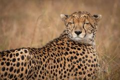 Close-up of cheetah lying with eyes closed stock images