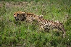 Close-up of cheetah lying on grassy plain Royalty Free Stock Photo