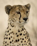 Close-up of a Cheetah, Serengeti Stock Images