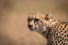 Close-up of cheetah sitting with bloodied face stock image