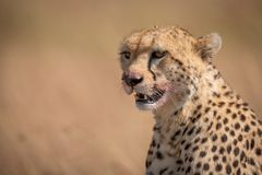 Close-up of cheetah sitting with bloodied mouth stock photography