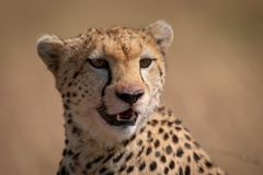 Close-up of cheetah sitting with bloody face stock photo