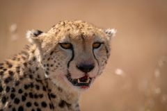 Close-up of cheetah sitting with bloody lips stock photos