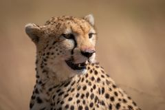 Close-up of cheetah sitting with bloody mouth royalty free stock image