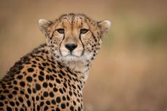 Close-up of cheetah sitting with head turned royalty free stock photo