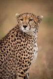Close-up of cheetah sitting looking over shoulder stock photo