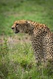 Close-up of cheetah sitting staring over grassland Stock Photo