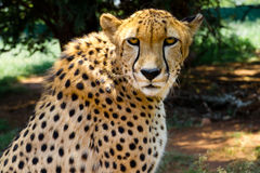 Close up of Cheetah staring into camera royalty free stock photo