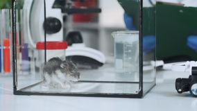 Close-up of chemical hamster in a glass container in modern laboratory. In the background - test tubes stock footage