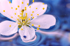 Close-up of Cherry blossom Royalty Free Stock Photography