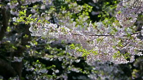Close up on Cherry blossom along the street stock video footage