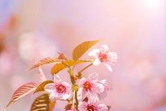 Close-up cherry blossom with Blue Sky Background Thai Sakura Blo Stock Image