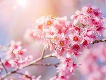 Close-up cherry blossom with Blue Sky Background Thai Sakura Blo Stock Photography