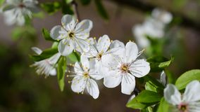 Close-up of cherry blossom on blurred background. Close-up of cherry blossom. Macro of beautiful white cherry tree flowers and green leaves blown by breeze in stock video footage