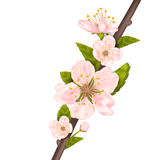 Close Up Cherry Blossom, Branch of Tree Royalty Free Stock Image
